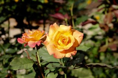 Sunshine, raindrops, and Tango roses