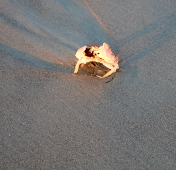 Large crab almost waving good morning