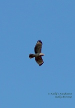 Hawk flying through the February Sky
