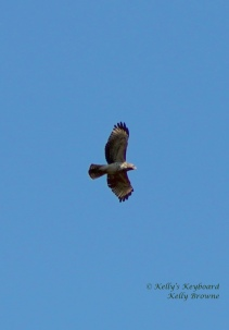 Hawk flying through the February Sky