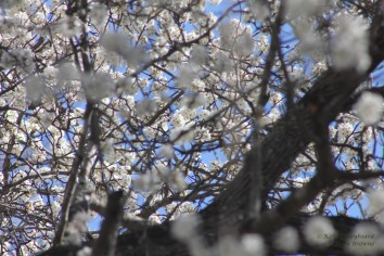 Blue sky through pear blossoms in February