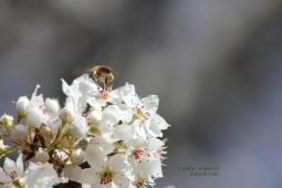Honey Bee and Pear Blossoms