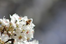 Honey Bees have found the pear blossoms