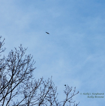 Another hawk playing on the breeze ~