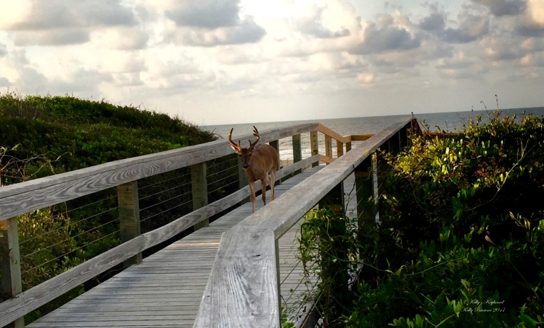 Beautiful buck on the boardwalk