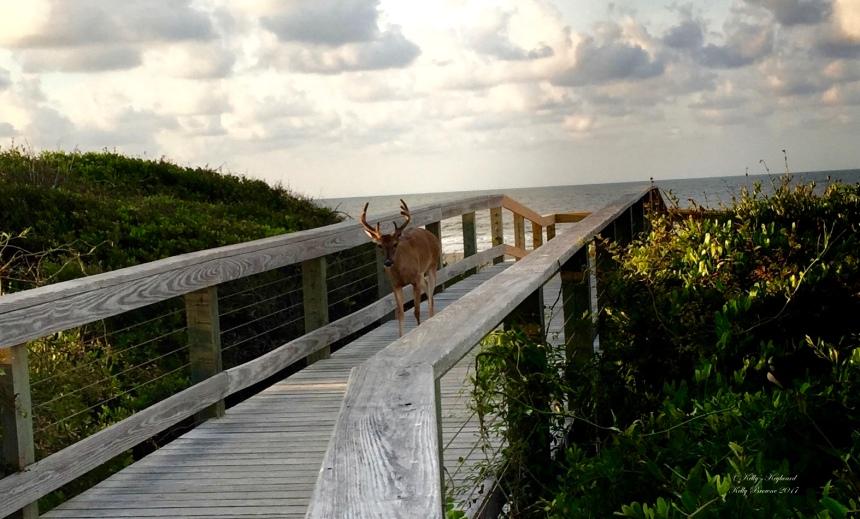 Beautiful buck on the boardwalk